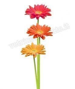 vetrofania gerbere giganti vari colori