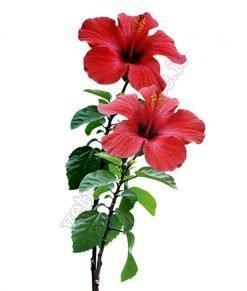 vetrofania due fiori hibiscus
