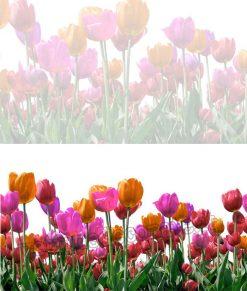 vetrofania tulipani colorati