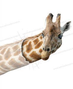 giraffa che sbuca dalla vetrina rotta