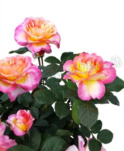 gruppo di grandi rose