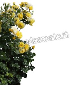 cespuglio di rose gialle